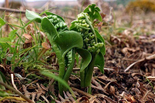 Moonwort fronds