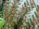 Woodwardia prolifera