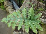 Phlebodium aureum variety