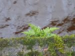 A polypodium growing in the retaining wall along the river side of the proposed fernery.