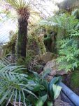Tree fern and Marattia