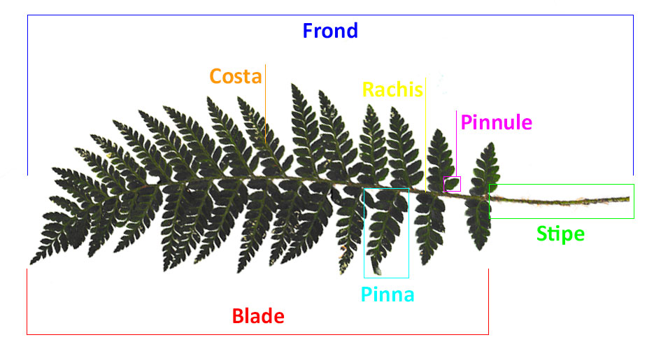 The Parts of a Fern