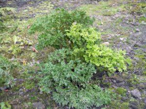 <i>Athyrium filix-femina</i> 'Acrocladon' plant