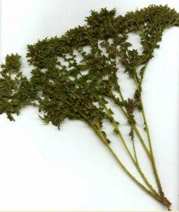 <i>Athyrium filix-femina</i> 'Acrocladon' frond