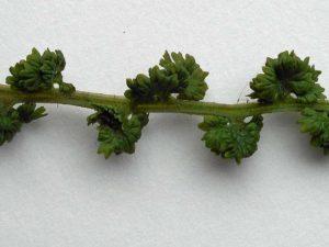 <i>Athyrium filix-femina</i> 'Frizelliae' detail