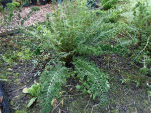 <i>Athyrium filix-femina</i> 'Gemmatum Barns' plant