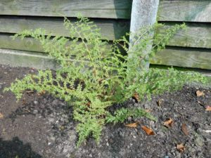 <i>Athyrium filix-femina</i> 'Howardii' plant