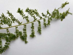<i>Athyrium filix-femina</i> 'Howardii' detail
