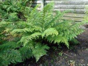 <i>Athyrium filix-femina</i> 'Plumosum Axminster' plant