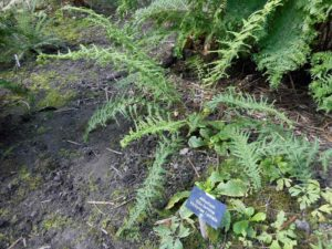 <i>Athyrium filix-femina</i> 'Victoria Lydiate' plant