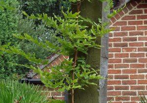 Lygodium japonicum non-fertile fronds