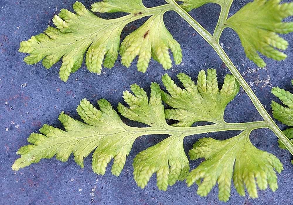 Lygodium japonicum - sori