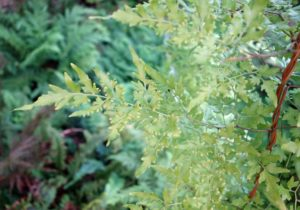 Lygodium japonicum - fertile fronds