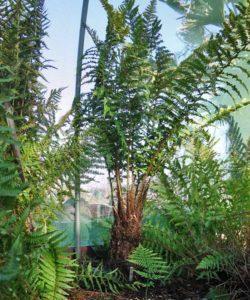 Dryopteris x picoensis