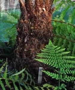 Dryopteris x picoensis trunk