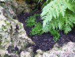 Selaginella helvetica underneath the Cibotium chamissoi