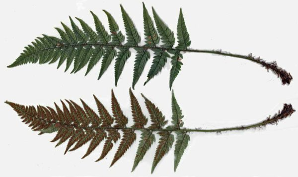 Image showing as much of the frond as possible and both sides