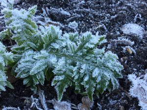 Polypodium cambricum 'Conwy' in the frost