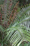 Sri Lanka fern sp 3e-1.jpg