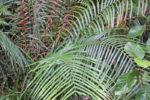 Sri Lanka fern sp 3f-2.jpg