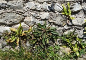 <i>Asplenium ceterach</i> on Church wall