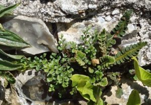 Detail of <i>Asplenium ceterach</i> on Church wall