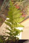 Fern-No.3-003-Edit-2.jpg