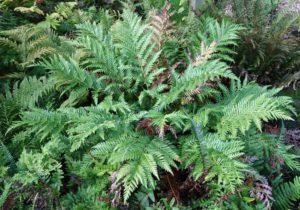 <em>Todea barbara</em> plant