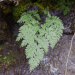 <i>Cystopteris montana</i><br> Mountain Bladder Fern<br />