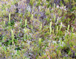 <i>Lycopodium clavatum</i><br> Stagshorn Clubmoss<br />
