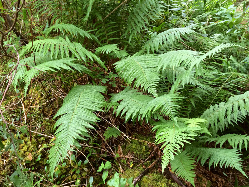 D. cambrensis ssp. pseudocomplexa in the woods near Dunvegan Castle